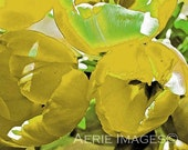 Yellow Spring Tulips, 5x7 or 8x10 Color Flower Detail Photo