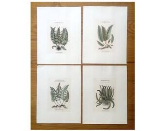 FERN BOTANICAL PRINTS set of 4 hand colored engravings - made in italy - italian prints - plant botany matthioli botanicals