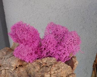 Reindeer Lichen-Pink