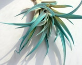 Turquoise Air Plant