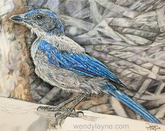 Western Scrub Jay - Streaming - Downloadable Colored Pencil Workshop