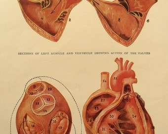 Vintage 1920s Print Human Anatomy HEART AORTA Ventricle Illustration Body Dissection Diagram Medical