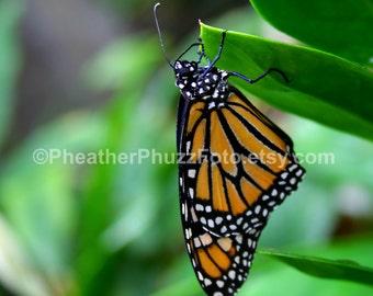 Monarch Butterfly Wildlife Photography Fine Art Nature Print, Insect Photo, Monarch Butterfly Home Decor, Wall Art