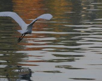 Bird in Flight, Nature, Fine Art Photography, Home Decor, Wall Art