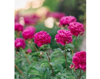 Peony Garden Print 8x10 Digital Print