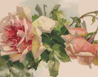 Klein Pink And Peach Roses - New 4x6 Photo Print From A Vintage Postcard FF039