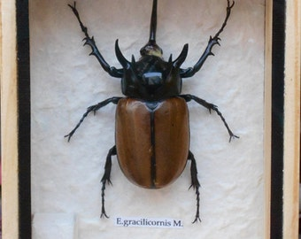 Real 5 Stag Gracilicornis Beetle Insect Taxidermy in Box /INF19