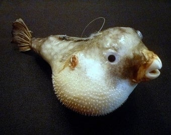 "Parrot Blowfish 6"" - 7"" blowfish porcupine fish pufferfish preserved sealife ocean theme puffer fish collectibles beach theme taxidermy"