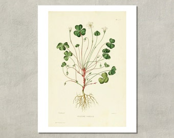 Shamrock Botanical Print, 1865 - 8.5x11 Reproduction Antique Print - also available in 11x14 and 13x19 - see listing details