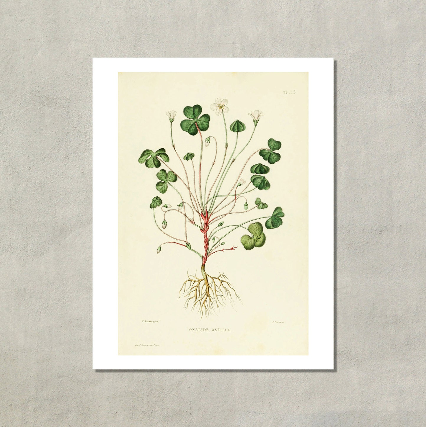 Shamrock Botanical Print 1865 8 5x11 Reproduction Antique