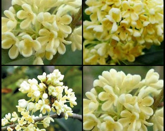 Osmanthus flower absolute oil, Natural perfume ingredients, Flower precious oil, Osmanthus absolute essential oil, Aromatherapy essence oil,