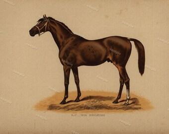 1890 0riginal Antique Natural History Chromolithograph of a horse Irish Birdcatcher Animal Print-  Nature print  Very Rare