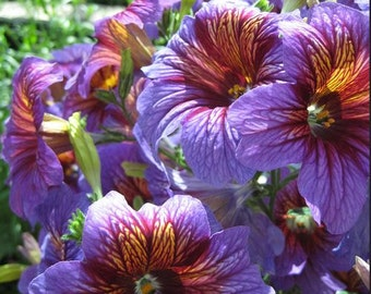 Painted Tongue, mixed colors  Heirloom flower seeds