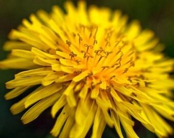 Dandelion Curlicues (digital download)