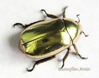 Real Beetle Looks Like 24K Gold Chrysina Resplendens In Museum Quality Shadowbox