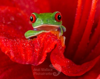Red eyed tree frog sitting within a red flower, large print