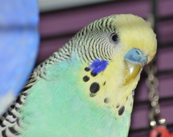 Cute Male Budgie Photograph Digital Download