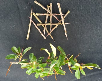 Ten English Hawthorn thorns with many esoteric uses.