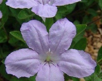 "25+ Ruellia ""Wild Petunia"" Humillis / Readily Self Seeding Easy To Grow / Flower Seeds"
