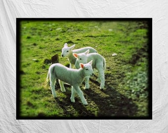 "Photographic Print, Scottish Lambs, from Highlands, Scotland, 5"" X 7"", Mounted, Original"