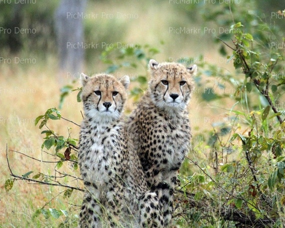 Young Cheetah Cubs - Edible Cake and Cupcake Topper For Birthday's and Parties! - D21329