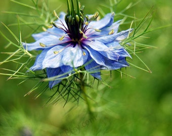 Blue Flower Print, Nigella, Blue, flower, floral wall art, suitable Bedroom, Kitchen, Anywhere