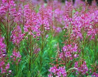 Fireweed- 100 seeds