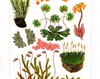 Botanical Illustration Print I
