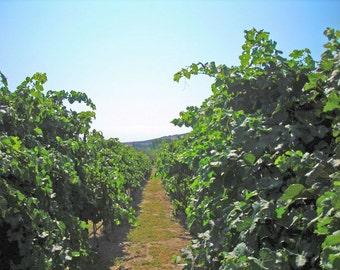 Vineyard beauty