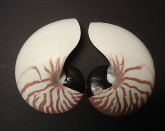 "2 Sliced Tiger Nautilus - 5 1/2"" Nautilus Shell - Tiger Striped Nautilus - Beach Decor - Craft Shells - Nautilus Seashell"