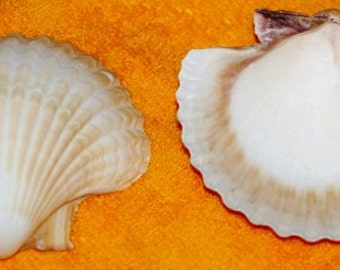 "Mexican Deep Scallop Seashells - Shell Pack of 12 2 1/2"" - 3"""