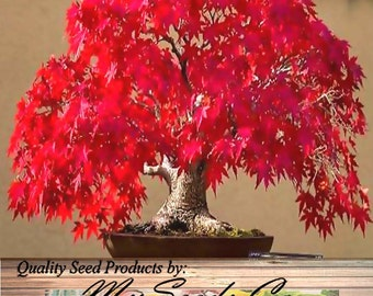 10 x Japanese Red Maple Seeds - ACER palmatum matsumurae Atropurpureum