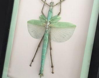Huge Walking Stick | Eurycnema Versirubra |  Wooden Frame | Entomology | Insect Art