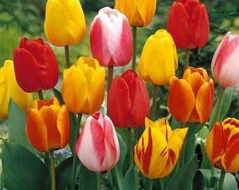 Darwin Hybrid Tulip 25 Bulbs: Tequila Sunrise Mix - 12/+ cm Bulbs