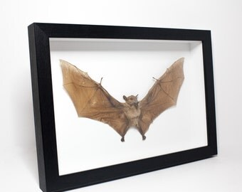 Taxidermy Long-Tongued Nectar Bat Framed (M. minimus) UK - Mummified, Preserved