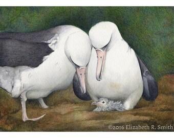 First Look: Laysan Albatross Family Watercolor Print
