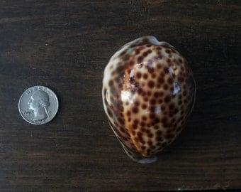 Hawaiian tiger cowrie shell, lot of 1