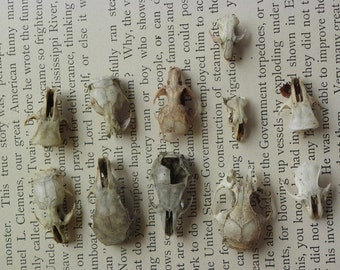Cruelty Free • No. C15 Rodent Skulls Lot | Mouse Mice Rat Gerbil | Taxidermy Specimen Curio