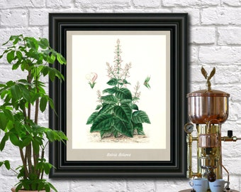 Sage Botanical Print Vintage Sage Illustration Kitchen Wall Art Fruit Poster  0442