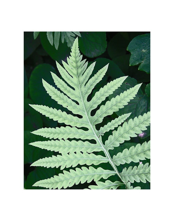 "Fern Study: ""Celadon""--Metallic Paper Photo Print"