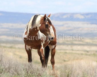 Picasso, Wild Horse, Wild Horse from the Sand Wash Basin, Paint, Stallion, Equine Photography
