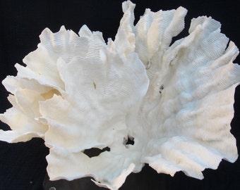 Large White Rugosa Sea Coral