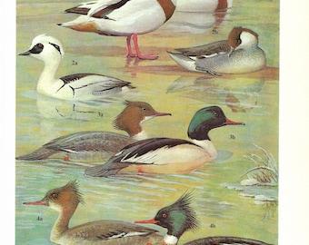 Vintage Birds Coloured Book Plate - Ducks - Ideal For Framing # 29