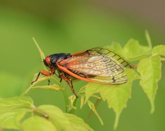 Cicada, bug, insect, nature, photo, print, photography, wall art, home decor, nature photography, free shipping, metal, wildlife