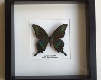 Alpine Black Swallowtail Butterfly Frame