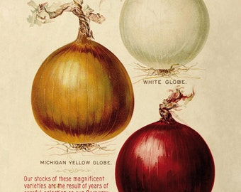 Onions - reproduction of an old botanical illustration
