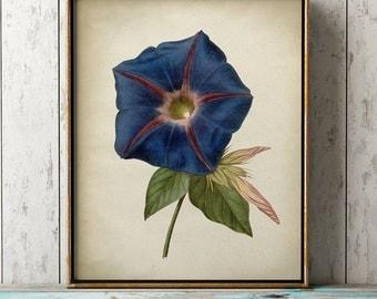 Blue morning glory BOTANICAL print, blue flower poster, flower art, vintage Botanical illustration, botanical wall decor