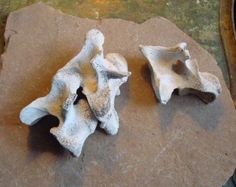 Real Flat Sided Cut Vertebrae Cow Bones Altered Art, Assemblage Tribal, Sculpture, Photo Props