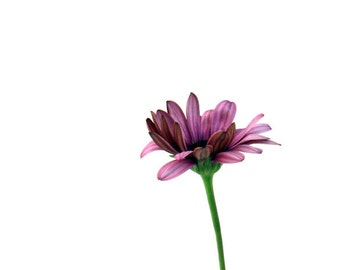 Purple Daisy, Floral Decor, Flower Photography, Green, Minimalism, 8X10 Mat, Ready to Frame