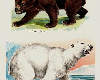 1909 Antique print of polar bear, brown bear, lithograph + 100 years older